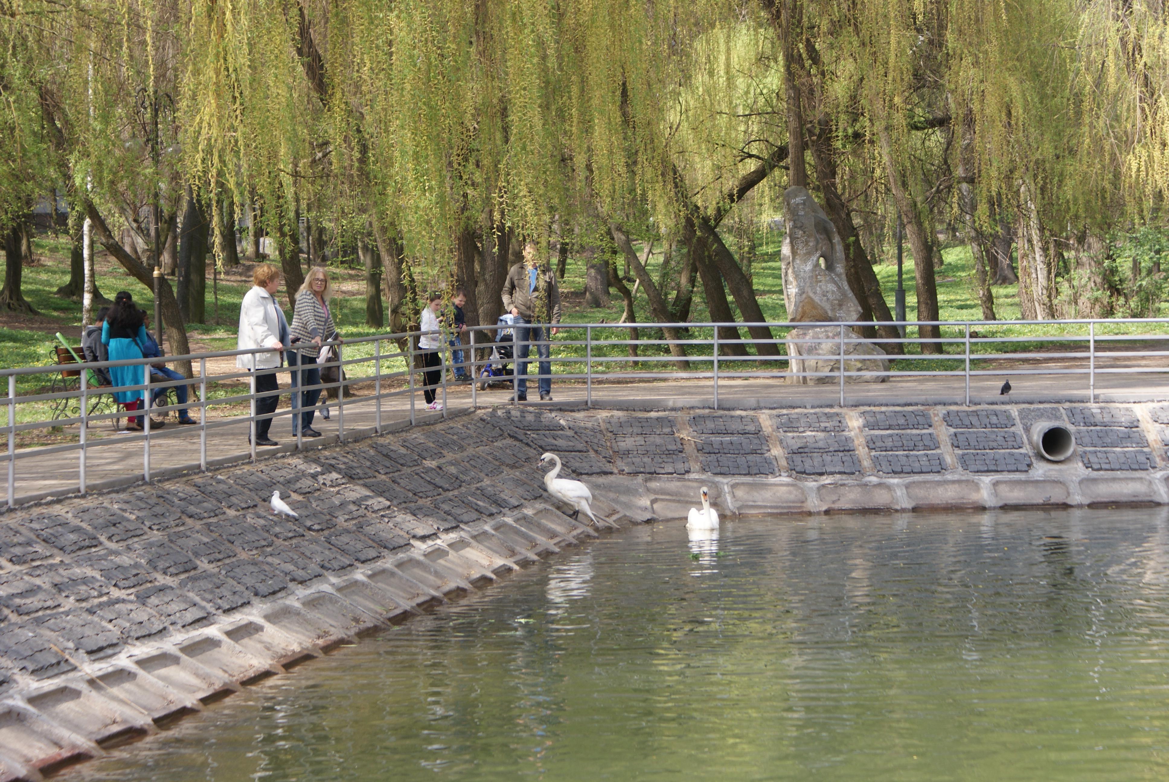 На озеро, що біля центрального парку, повернулися лебеді (Фото)