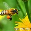 Пчелопакеты.Пчелиные плодные матки.Карпатка