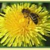 20% настойка пчелиного подмора