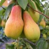 саджанці найрізноманітніших плодових дерев та кущі