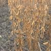 семена сои под Раундап