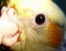 Папуга навчився щебетати в стилі dub-step