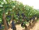 Виноград: как его вырастить с косточки и ветки