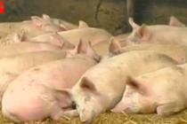 На Вінниччині спалахнула Африканська чума свиней. У трьох селах вже оголошено карантин (Відео)