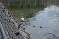 Пернате поповнення: у Вінниці лебеді з парку стали батьками (Фото+Відео)
