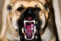 Стали відомі подробиці трагедії в Козятинському районі, де собаки насмерть загризли жінку