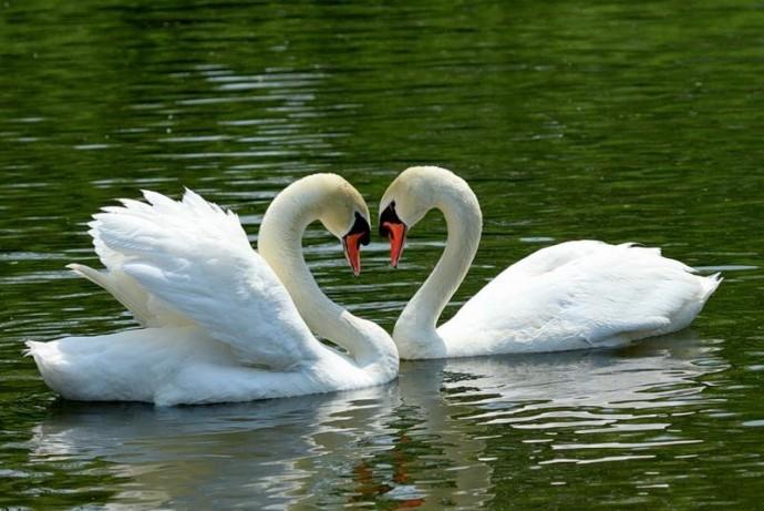 На озеро біля Центрального парку повернулись лебеді (Фото)