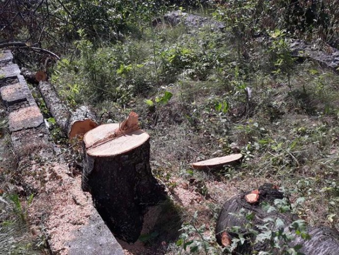 На Вінниччині незаконно вирізали півсотні дерев (Фото)