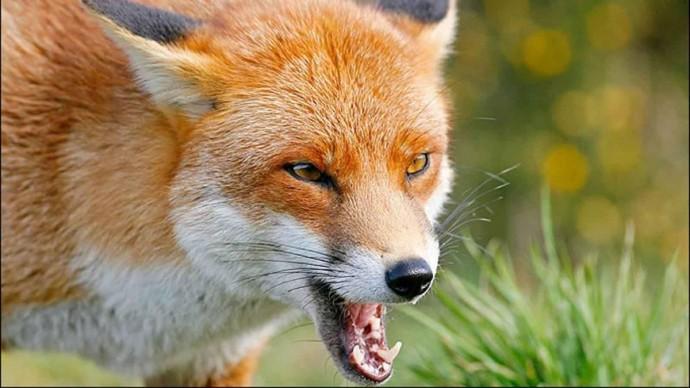 На Вінниччині хворий на сказ лис забіг до відділку поліції (Відео)