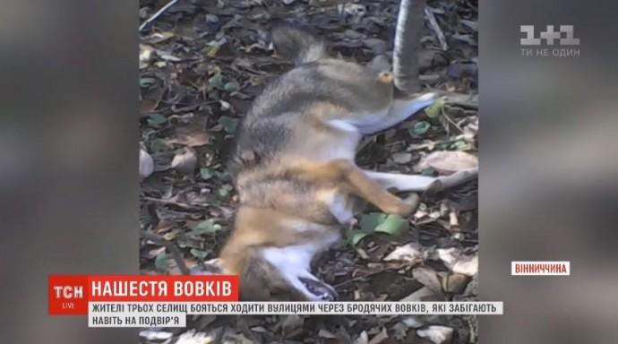 На Вінниччині три села потерпають через вовків (Відео)
