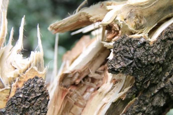 У Хмільнику на жінку впало дерево. Травмована загинула на місці події