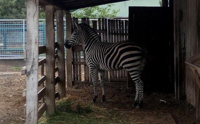 Зоопарк у Вінниці поповнився зеброю