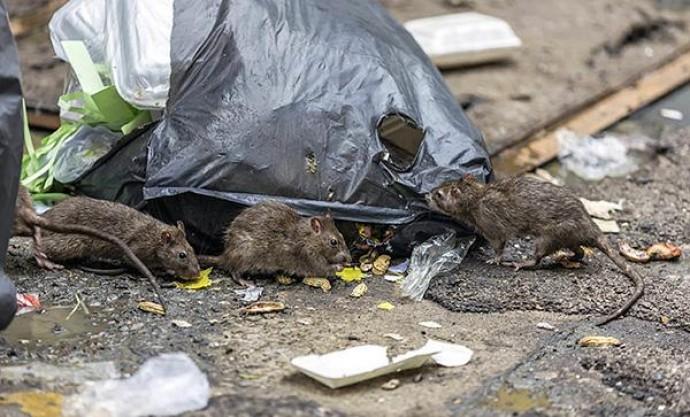 Эффективная борьба и уничтожение мышей и крыс