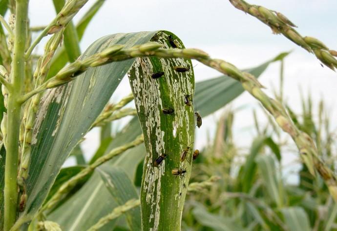 На Вінниччині у 6 районах запроваджено карантин через західного кукурудзяного жука