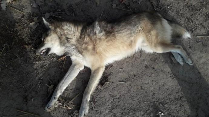 У Бершадському районі мисливці вполювали вовка (Фото)