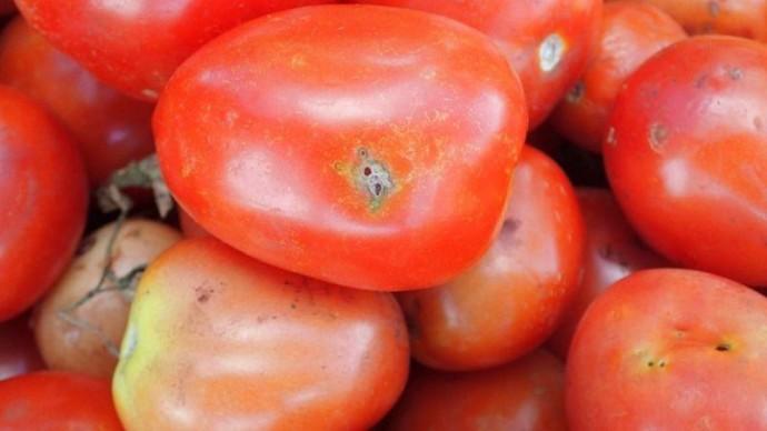 На Вінниччині у завезених з Туреччини томатах виявили міль