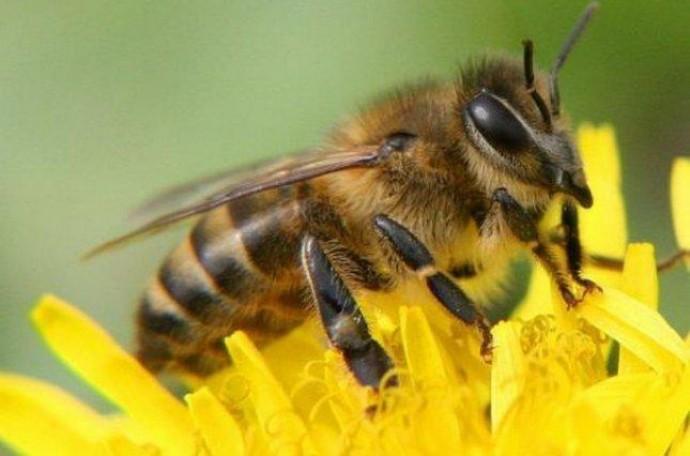 Ізраїльський стартап готується замінити бджіл машинами