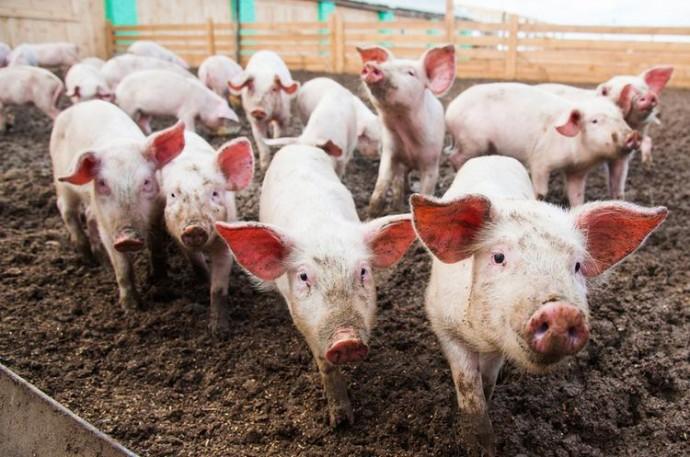 У Немирівському районі виявили випадок африканської чуми свиней