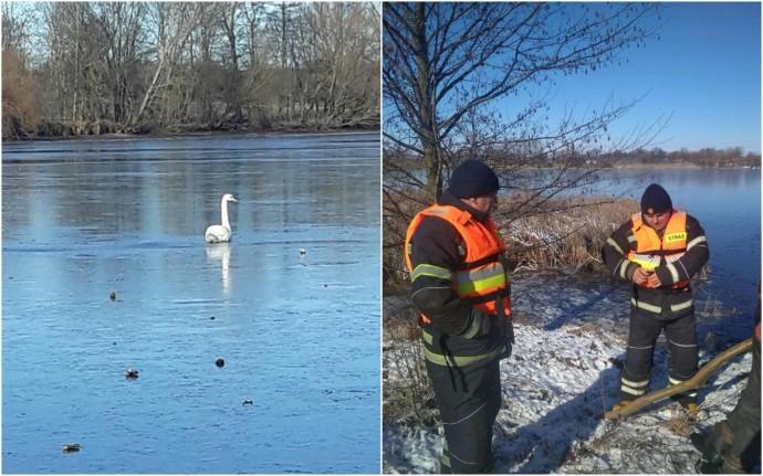 На Вінниччині врятували 3 лебедів, які примерзли до криги на ставку (Фото)