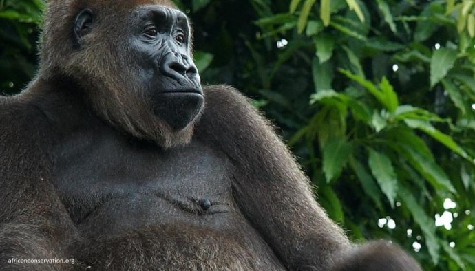 Всього 300 в світі. У Нігерії помітили рідкісних річкових горил