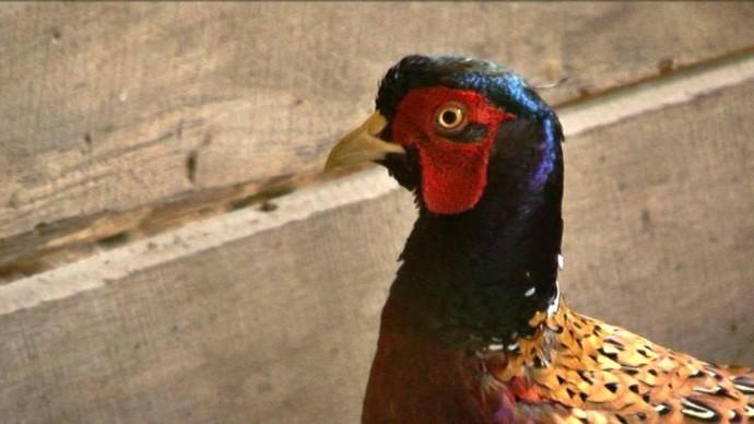 У Гайсинському районі лісники випустили в дику природу фазанів (Фото+Відео)
