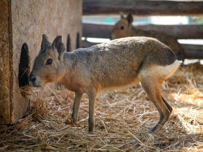 До зоопарку у Вінниці привезли патагонських марі