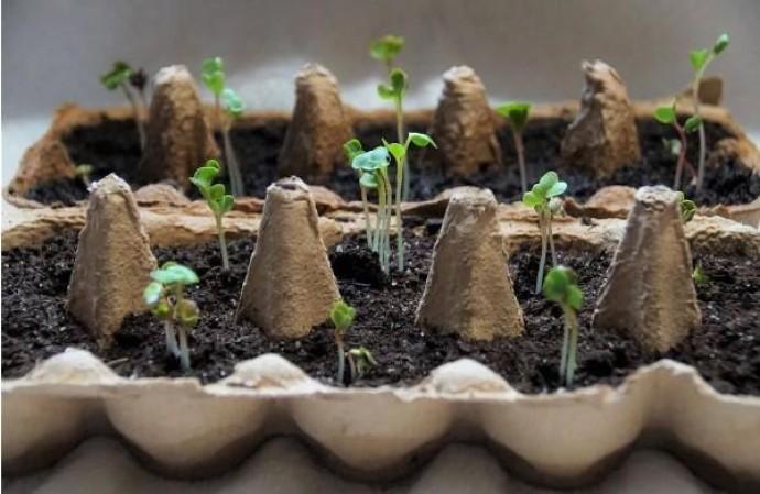 Як правильно поливати маленьку тоненьку розсаду?