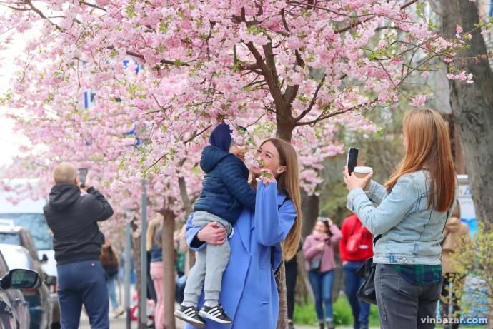 На Порика рясно зацвіли сакури. Біля дерев вишиковуються черги з любителів селфі (Фото)