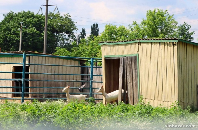 У зоопарку Вінниці поповнення. Малюк народився у пари білих ланей (Відео)