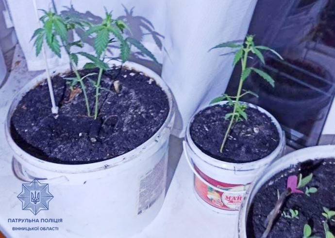 «Вирощував як вазон»: у Вінниці чоловік випадково видав поліції власну посадку конопель
