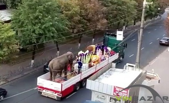По Вінниці катали живого слона (Відео)