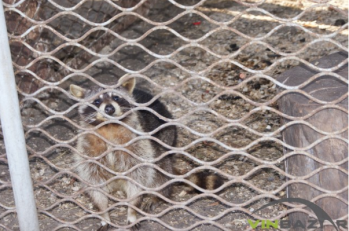 У вінницькому зоопарку новий житель - єнот Стьопа (Фото)