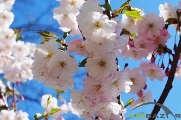 У Вінниці зацвіли сакури, які висадили восени (Фото)