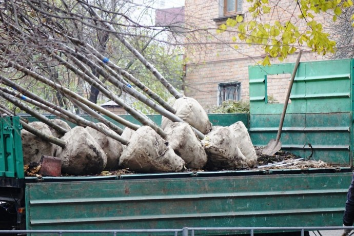 У Вінниці висаджують липи схрещені з горіхом та клени (Фото)