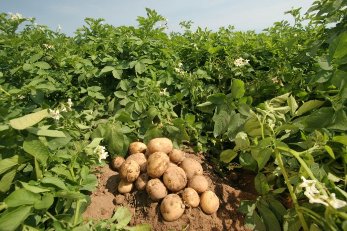 Картофель: как его правильно выращивать?