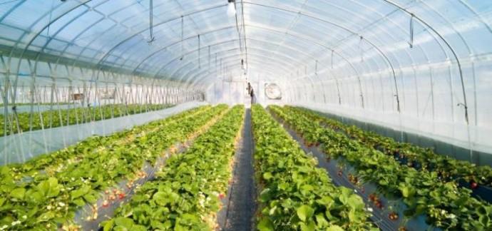Как вырастить в одной теплице клубнику и виноград