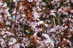 Біля набережної Рошен зацвіли сакури, а біля Книжки - магнолії (Фото)