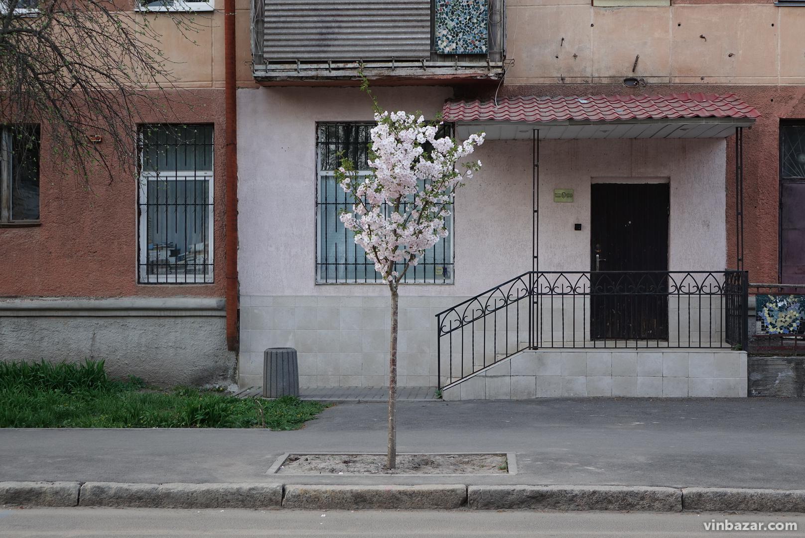 У Вінниці розцвіли магнолії та сакури (Фото)
