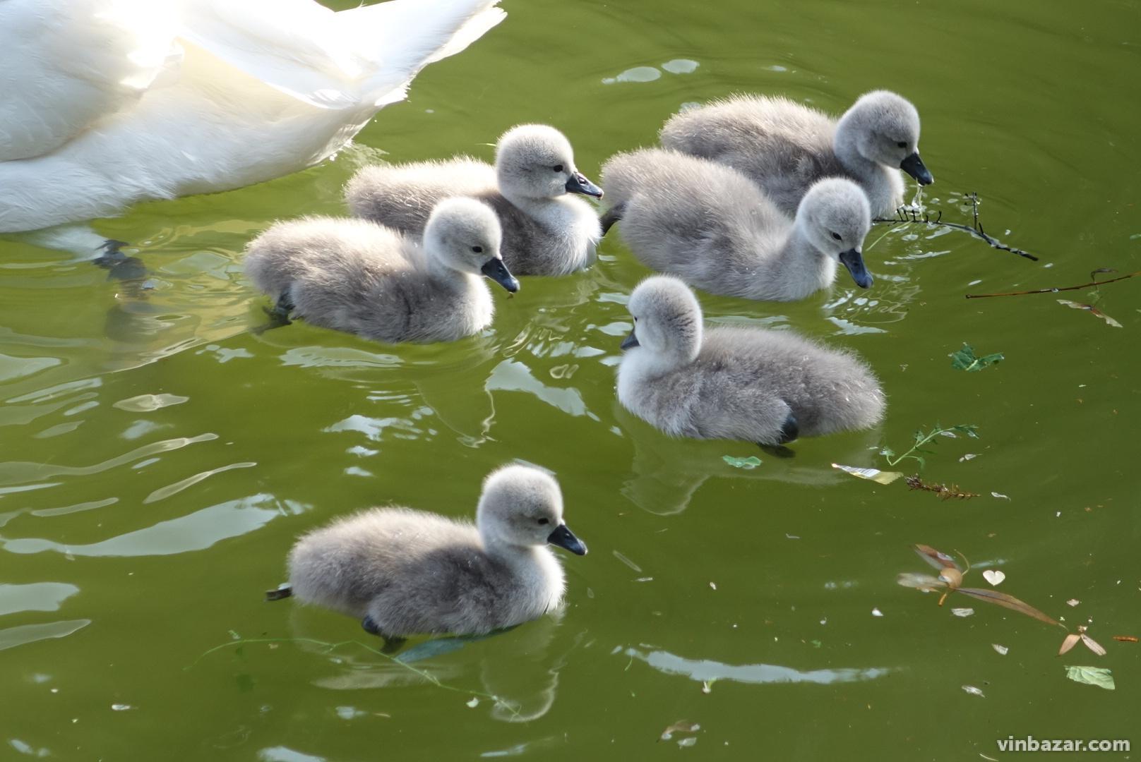 На озері біля Центрального парку з'явилося 6 лебедят (Фото)