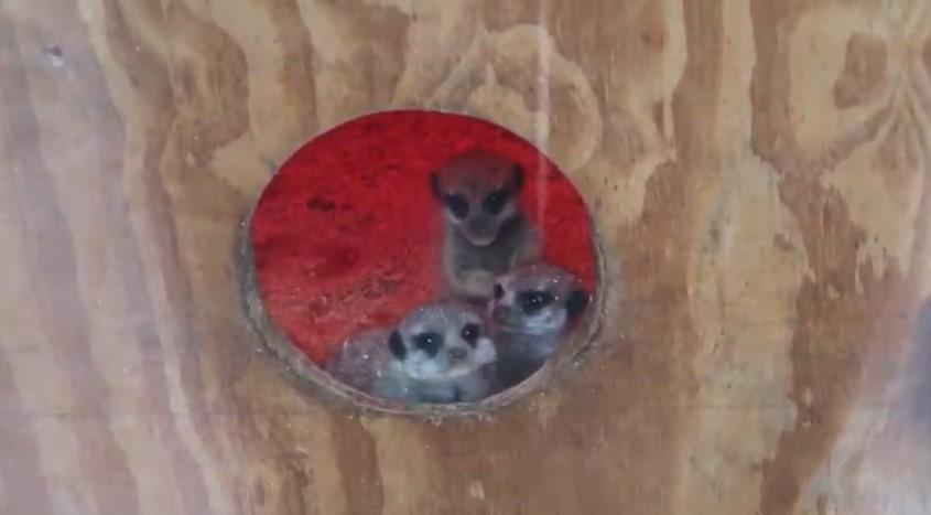 У Вінницькому зоопарку поповнення - народилися сурикати (Відео+Фото)