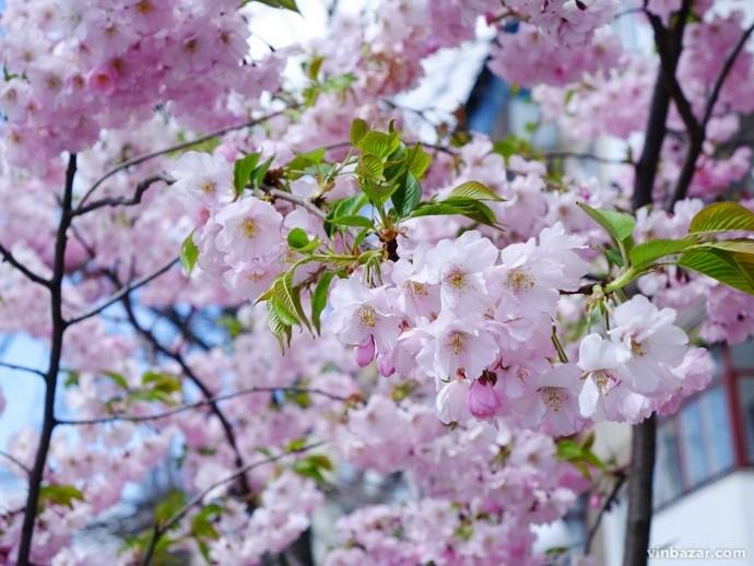 У Вінниці похолодання не завадило розквітнути японським сакурам (Фото)