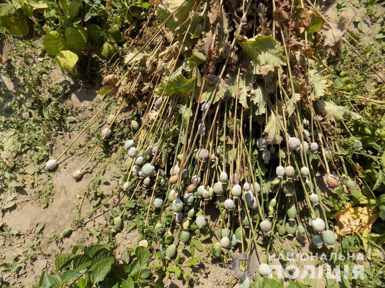 На Вінниччині жінка вирощувала 280 рослин маку