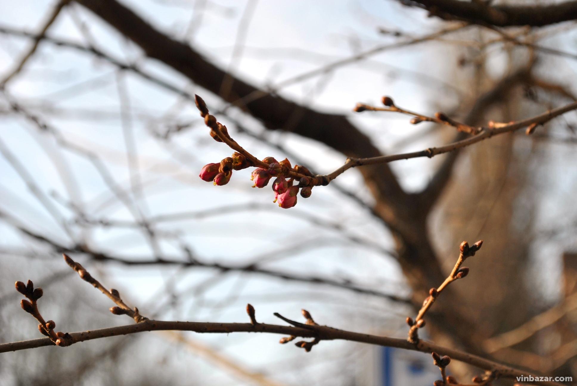 У Вінниці на Миколая почали зацвітати сакури (Фото)