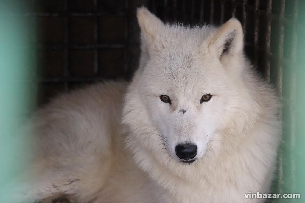 У Вінницькому зоопарку показали полярних вовків, яких привезли напередодні з Бердянська (Фото)