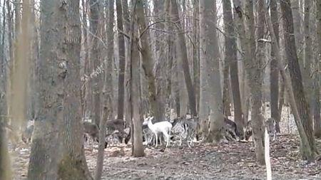 У лісах Гайсинського району живе біла лань (Фото)