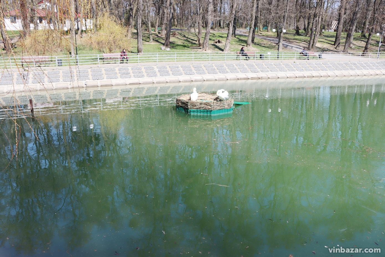 На озеро біля Центрального парку випустили лебедів (Фото)