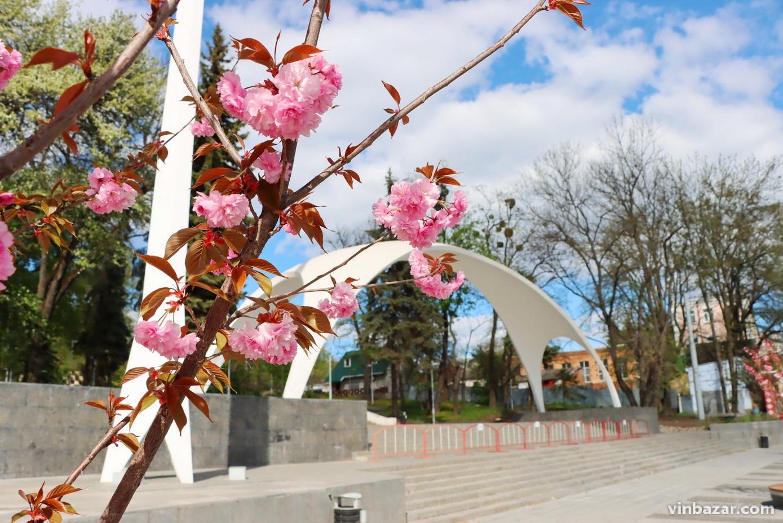 Біля арки у Вінниці вперше зацвіли сакури (Фото)
