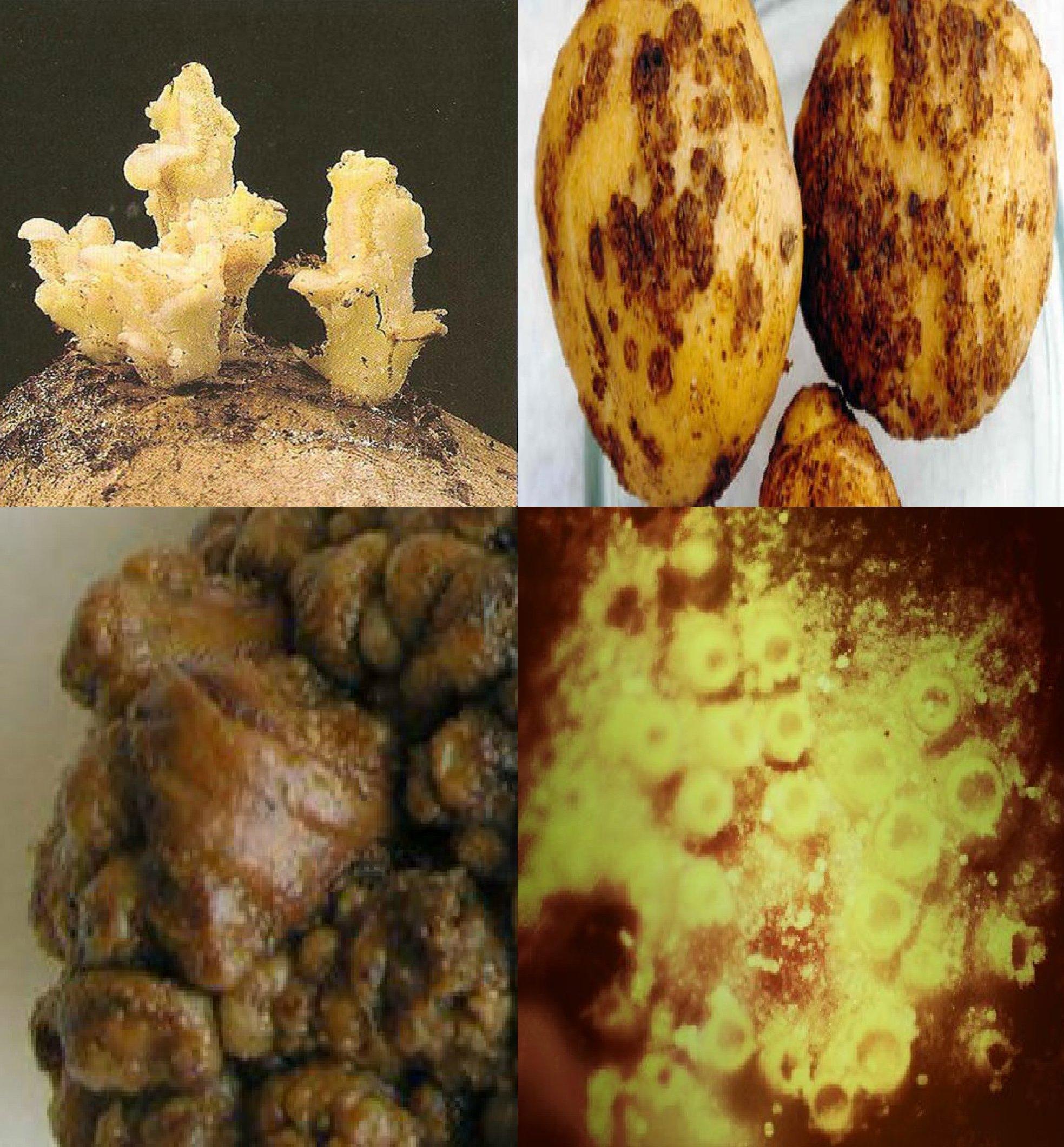 У Тиврівському районі ліквідували вогнище раку картоплі