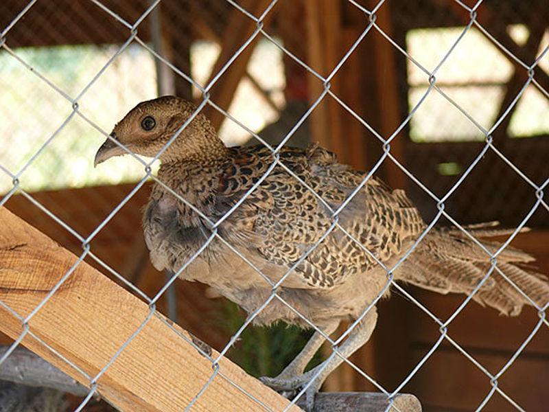 У фазанарії на Вінниччині вилупилося більше 300 пташенят (Фото)