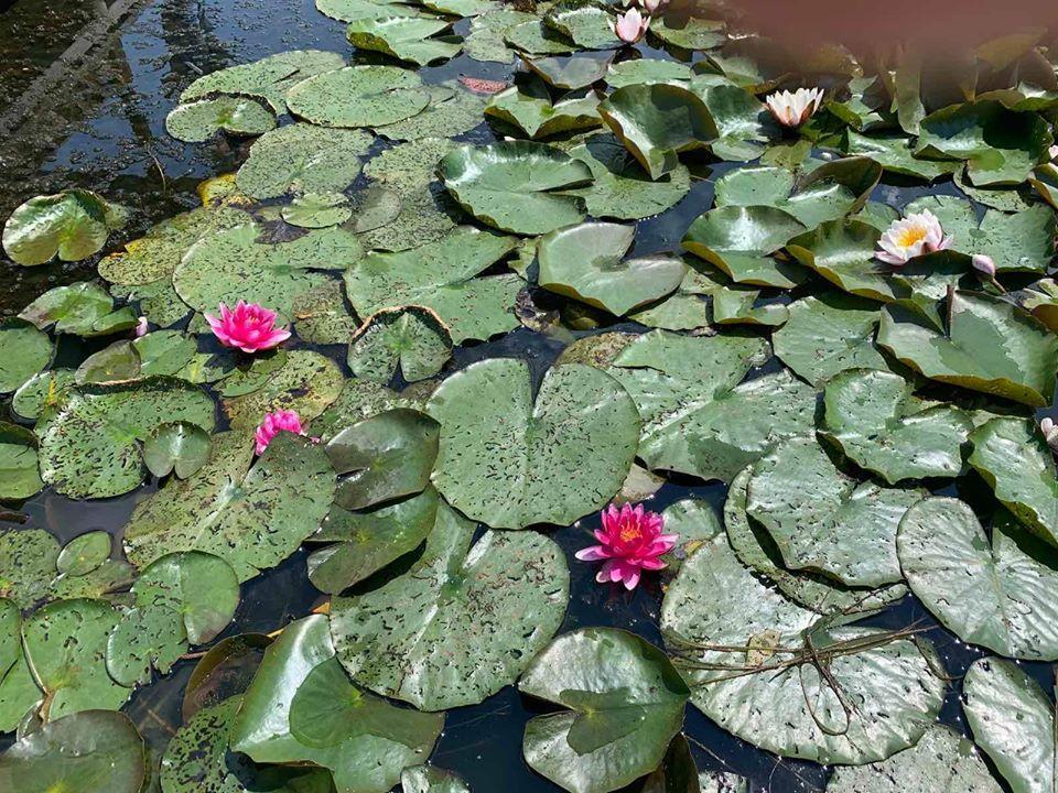 У Немирові чоловік виростив на ставу 9 видів лілій (Фото)